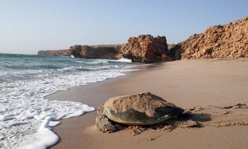 تخم گذاری لاک پشتها در جزیره مسیره عمان