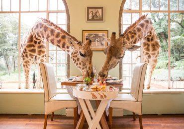 هتل زرافه مانور در کنیا